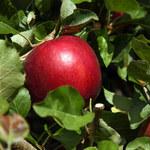 Cosmic Crisp - najdoskonalsze jabłko na świecie