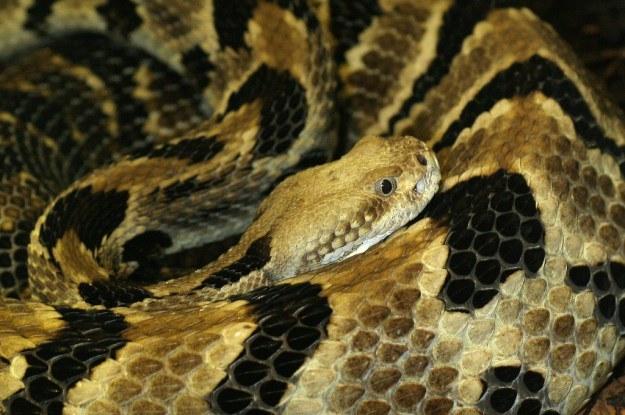 Crotalus horridus zabija rocznie nawet 4500 kleszczy /materiały prasowe