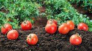 Cudowne pomidory