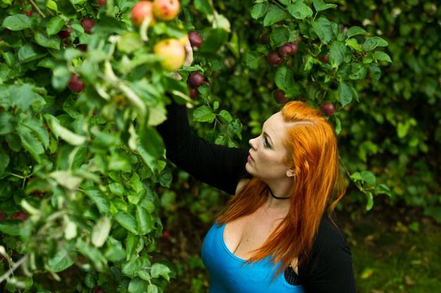 Cudzoziemcy zatrudnieni na umowę o dzieło przy zbiorze jabłek zarabiają miesięcznie 2-3 tys. zł /123RF/PICSEL