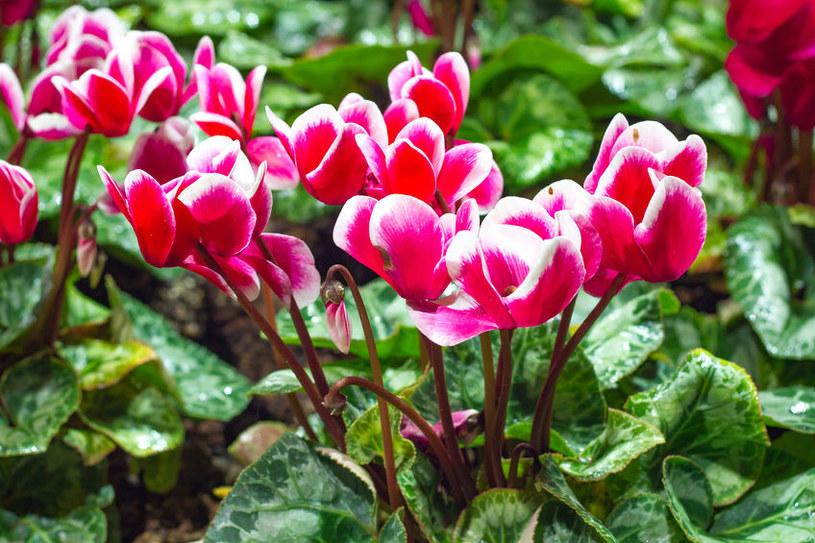 Cyklamen - jedna z najpiękniejszych świątecznych roślin /©123RF/PICSEL