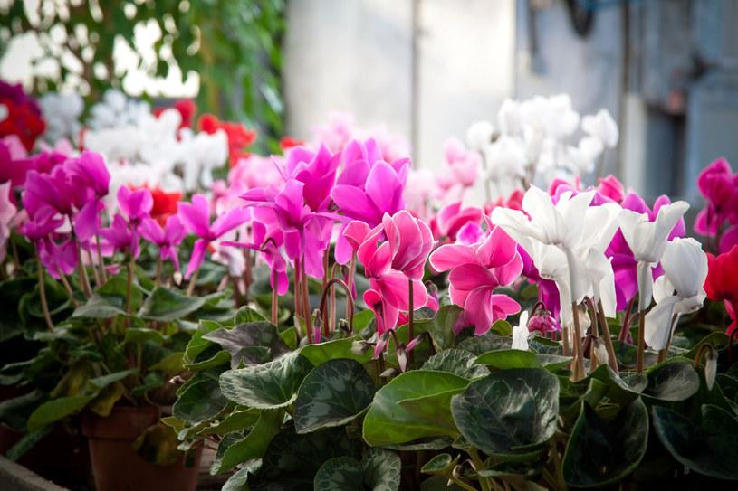 Cyklamen kwitnie do marca, więc zasilamy go przez całą zimę sztucznym nawozem do roślin kwitnących /123RF/PICSEL
