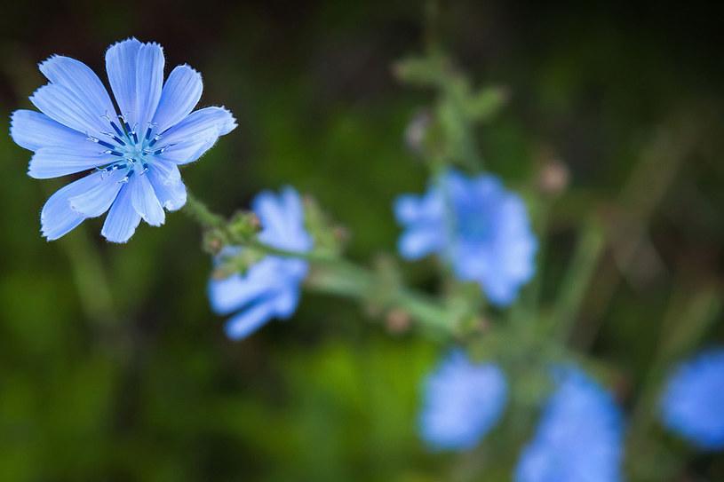 Cykoria ma wiele zastosowań w ziołolecznictwie. Wykorzystuje się jej kwiaty, pędy, liście i korzenie /123RF/PICSEL