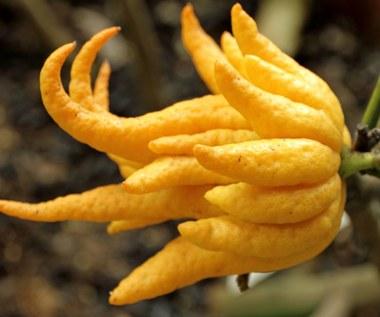 Cytron - niezwykły owoc zwany Ręką Buddy