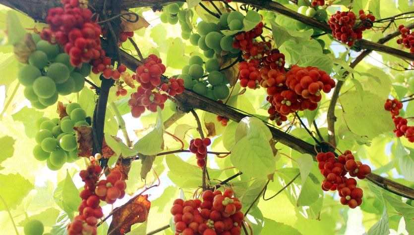 Cytryniec chiński: Bujnie się pnie i wydaje owoce o niezwykłych właściwościach