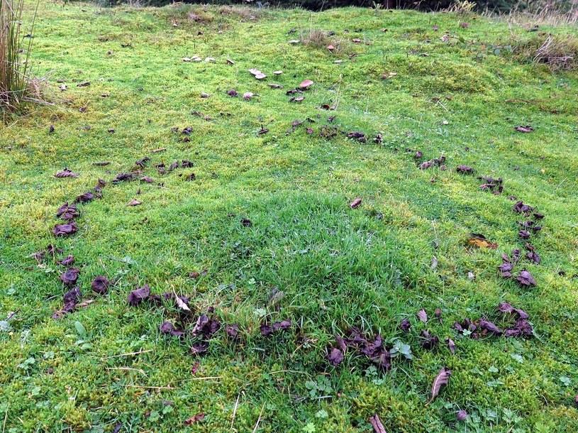 Czarcie kręgi wyglądają niezbyt estetycznie. Ich średnica sięga nawet do 10 metrów i ciężko się ich pozbyć /Wikimedia Commons /domena publiczna