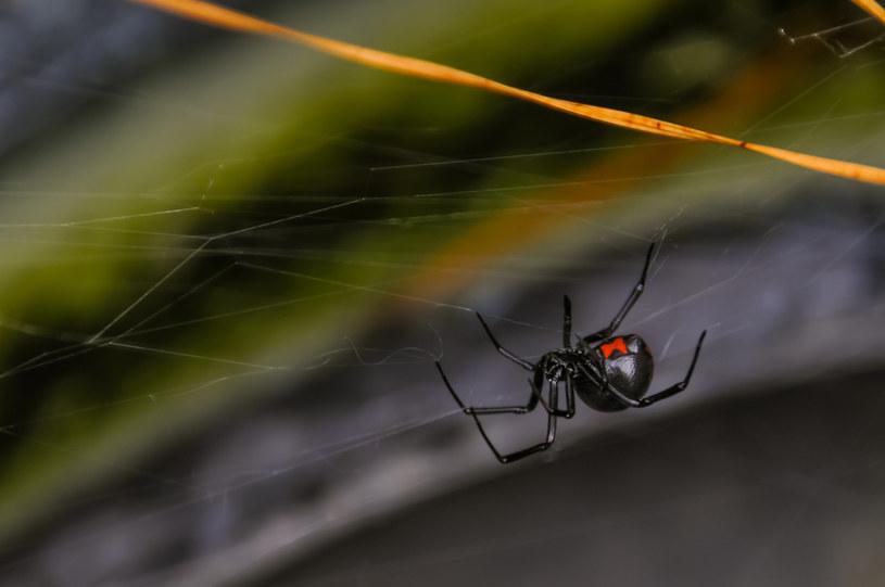Czarna wdowa to jeden z najniebezpieczniejszych gatunków pająków na świecie /123RF/PICSEL