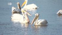 Czarnogóra - Pelikany dalmatyńskie