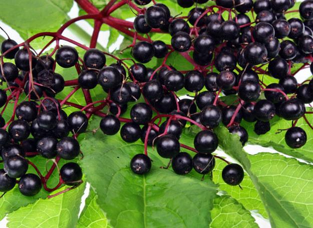 Czarny bez rośnie na obrzeżach ogrodów, przy drogach, pod płotami, w zaroślach i na polanach leśnych /123RF/PICSEL