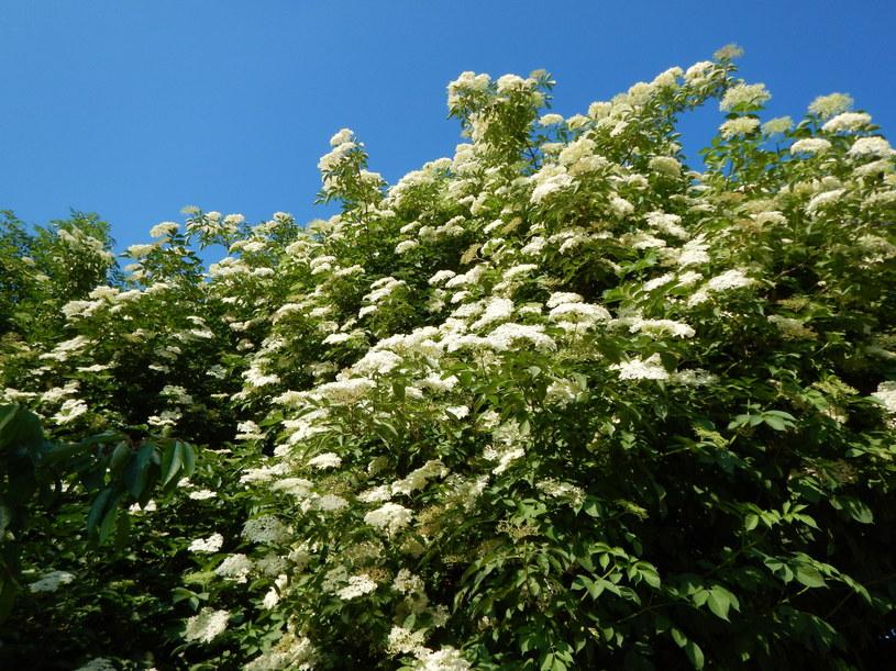 Czarny bez swoją nazwę zawdzięcza fioletowo-czarnym owocom, jego kwiaty są białe /123RF/PICSEL