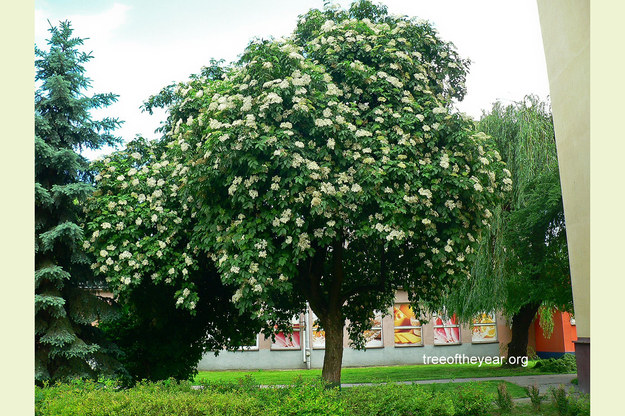 Czarny bez z Rzeszowa walczy o miano Europejskiego Drzewa Roku /Tree of The Year /