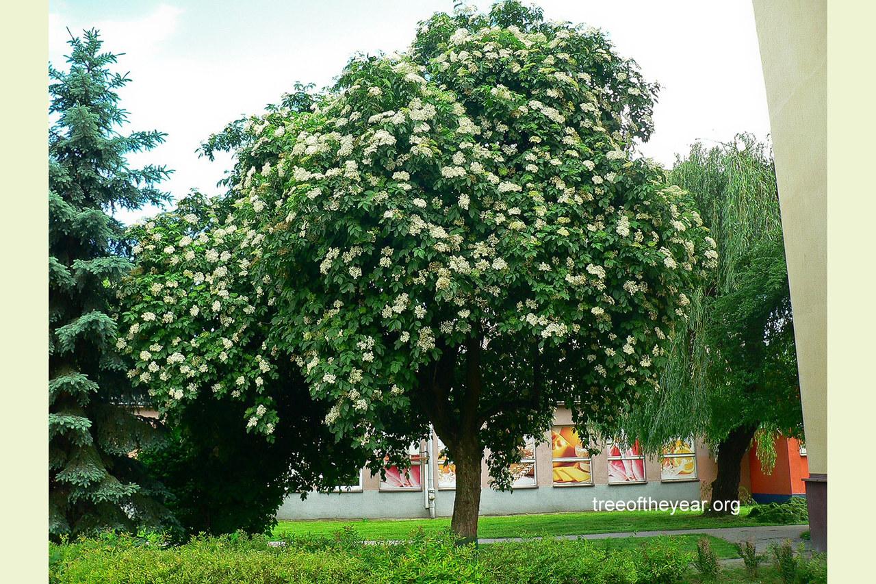Czarny bez z Rzeszowa z szansą na tytuł Europejskiego Drzewa Roku. Trwa głosowanie!