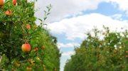 Czas na jabłka i gruszki