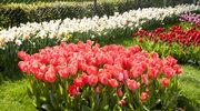 Czas sadzić cebulki kwiatowe