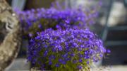 Czas wysiać letnie kwiaty na balkon i do ogrodu