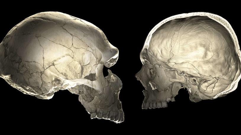 Czaszka neandertalczyka (po lewej) i czaszka człowieka współczesnego (po prawej) /materiały prasowe