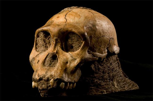 Czaszka osobnika gatunku Australopithecus sediba  /Fot. Brett Eloff dzięki uprzejmości Lee Bergera i University of the Witwatersrand