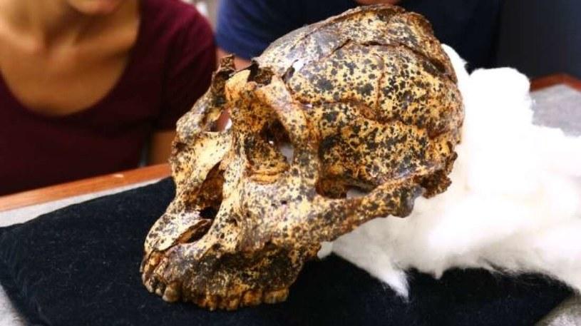 Czaszka Paranthropus robustus, jednego z kuzynów człowieka /materiały prasowe