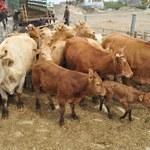 Czechy chcą, by cała UE wprowadziła nadzwyczajne kontrole polskiej wołowiny