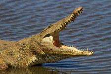 Czechy: Krokodyl uciekł z hodowli. Może być w Polsce