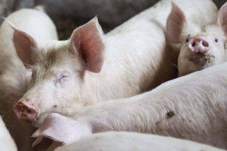Czeka nas spęd świń w Warszawie? zdj. ilustracyjne /Łukasz Ogrodowczyk /PAP/EPA