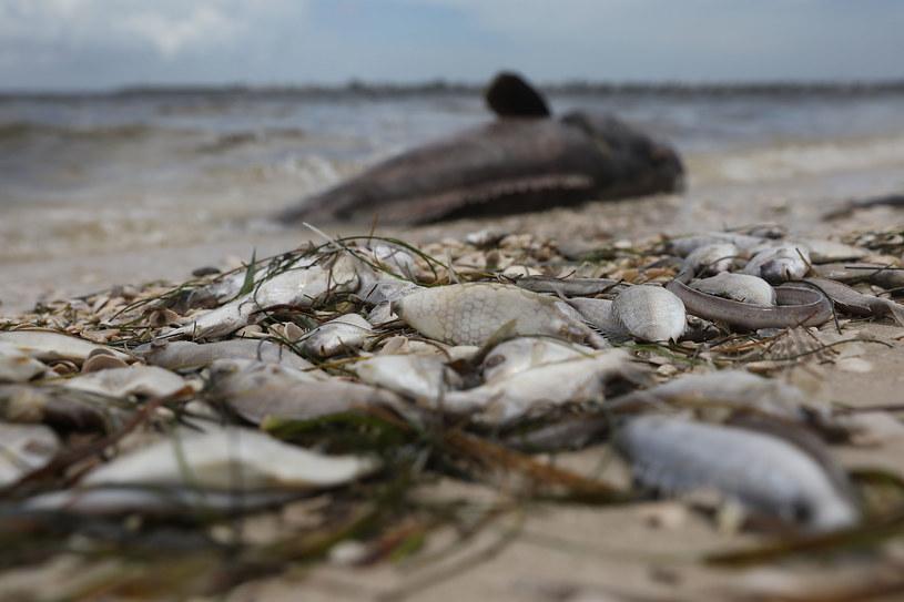 Czerwona fala zabija morską faunę /AFP