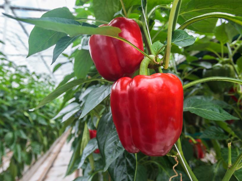 Czerwona papryka ma 5 razy więcej witaminy C niż cytryna /123RF/PICSEL