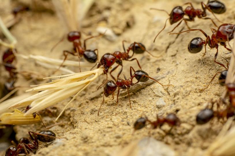 Czerwone mrówki nie bez powodu budzą grozę /123RF/PICSEL