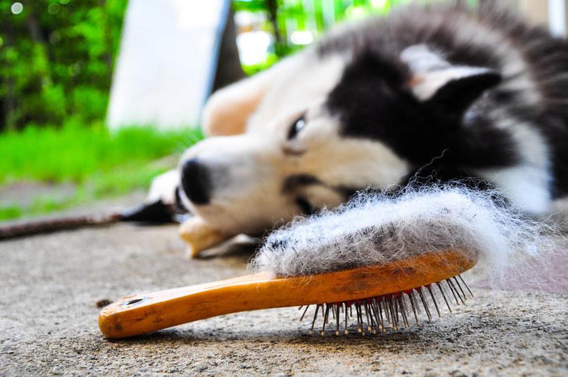 Czesanie psa /©123RF/PICSEL