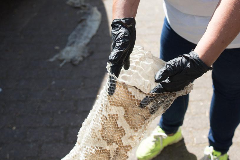 Członkowie Służby Ochrony i Ratownictwa Zwierząt prezentują wylinkę pytona znaleziona nad Wisłą w Gassach /Mateusz Wlodarczyk /Agencja FORUM