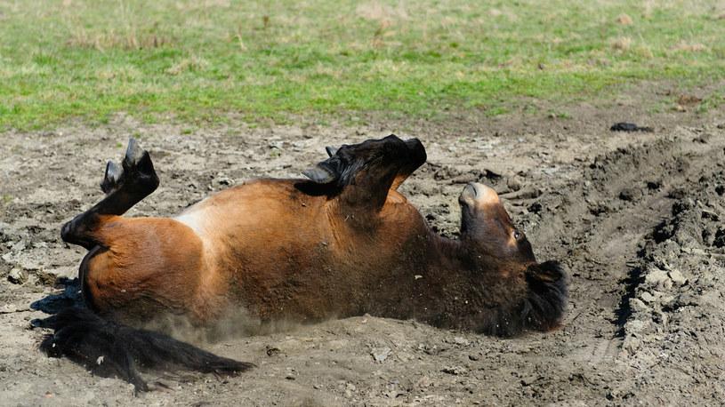 Człowiek nie potrzebuje prysznica - swoją kontrowersyjną tezę Whitlock ukuł badając zachowanie koni /materiały prasowe
