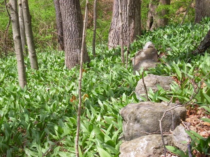 czosnek niedzwiedzi w lesie /© Photogenica