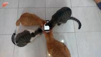 Cztery koty kontra robak. Jest jednak jeden haczyk