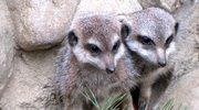 Cztery surykatki przyszły na świat w gdańskim zoo - wiosna tuż tuż