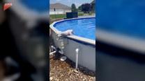 Czworonożny miłośnik basenu. Urocze