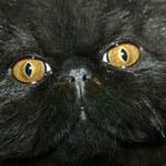Czy czarny kot wieszczy śmierć?