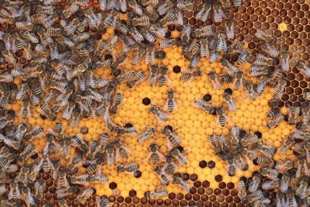 Czy europejskie pszczoły zostaną ocalone? /123RF/PICSEL