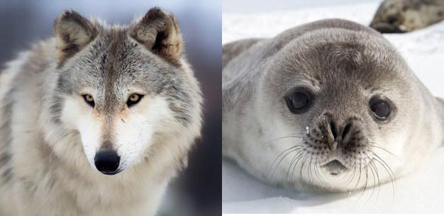 Czy ewolucja zmieni dzisiejsze wilki w zwierzęta podobne do fok? /123RF/PICSEL