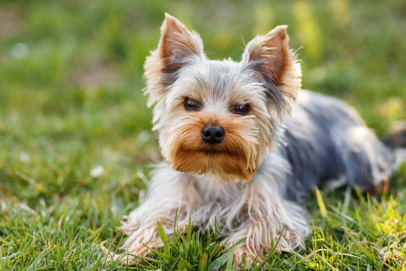 Czy istnieją psy z włosami zamiast sierści? /123RF/PICSEL