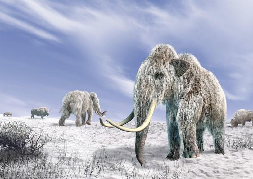 Czy kiedyś ujrzymy na własne oczy mamuta włochatego? /123RF/PICSEL