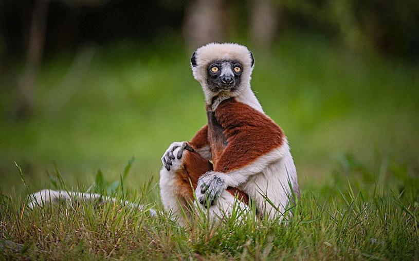 Czy lemur dobrze poczuje się w swoim nowym domu? /Cover Images/East News /East News