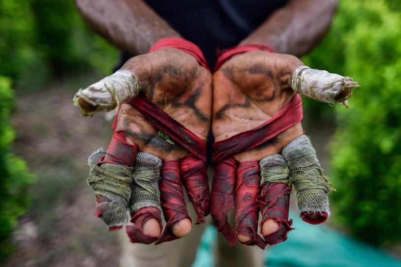 Czy liście koki zbierane na plantacjach Ameryki Południowej od tysięcy lat trafiały również do starożytnego Egiptu? /East News