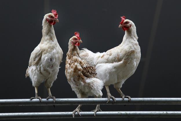 Czy mięso drobiu jest zdrowe? /©123RF/PICSEL