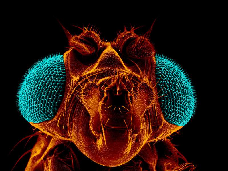 Czy muszki owocowe pomogą nam walczyć z chorobami neurodegeneracyjnymi? /123RF/PICSEL