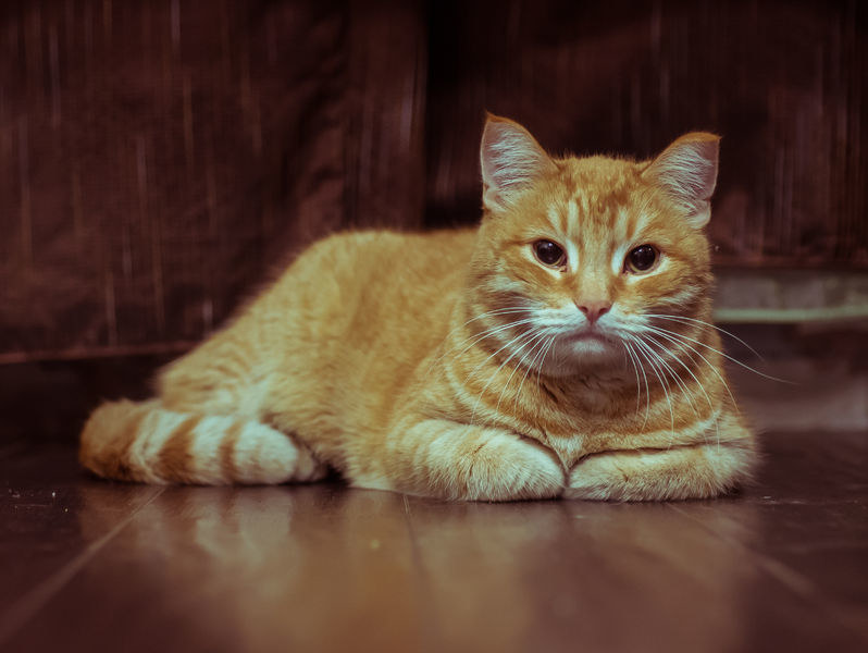 Czy naukowcom uda się rozszyfrować mowę kotów? /123RF/PICSEL