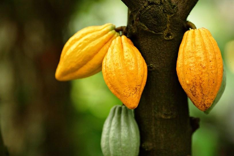 Czy naukowcom uda się uratować kakaowce? /123RF/PICSEL