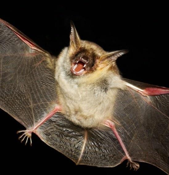 Czy nietoperze są niebezpieczne dla ludzi? /©123RF/PICSEL