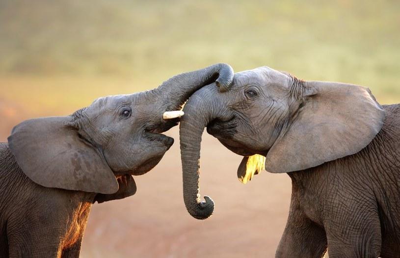 Czy słonie mogą wykrywać materiały wybuchowe? Okazuje się, że to możliwe /123RF/PICSEL
