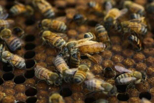 Czy telefony komórkowe mogą być szkodliwe dla pszczół? /AFP
