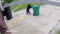 Czy ten niedźwiedź wyrzuca śmieci? Jest sprytniejszy niż może się wydawać!